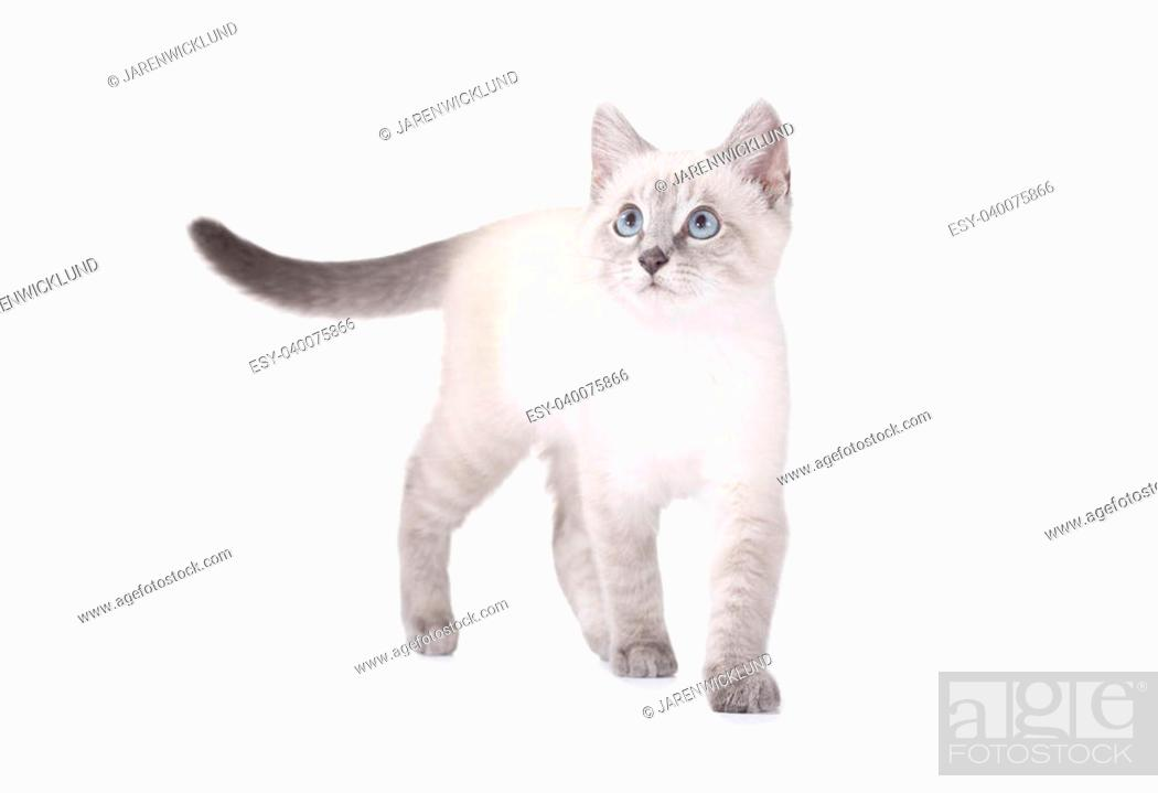 Beautiful Blue Eye Siamese Kitten Isolated On White Balinese Breed Stock Photo Picture And Low Budget Royalty Free Image Pic Esy 040075866 Agefotostock