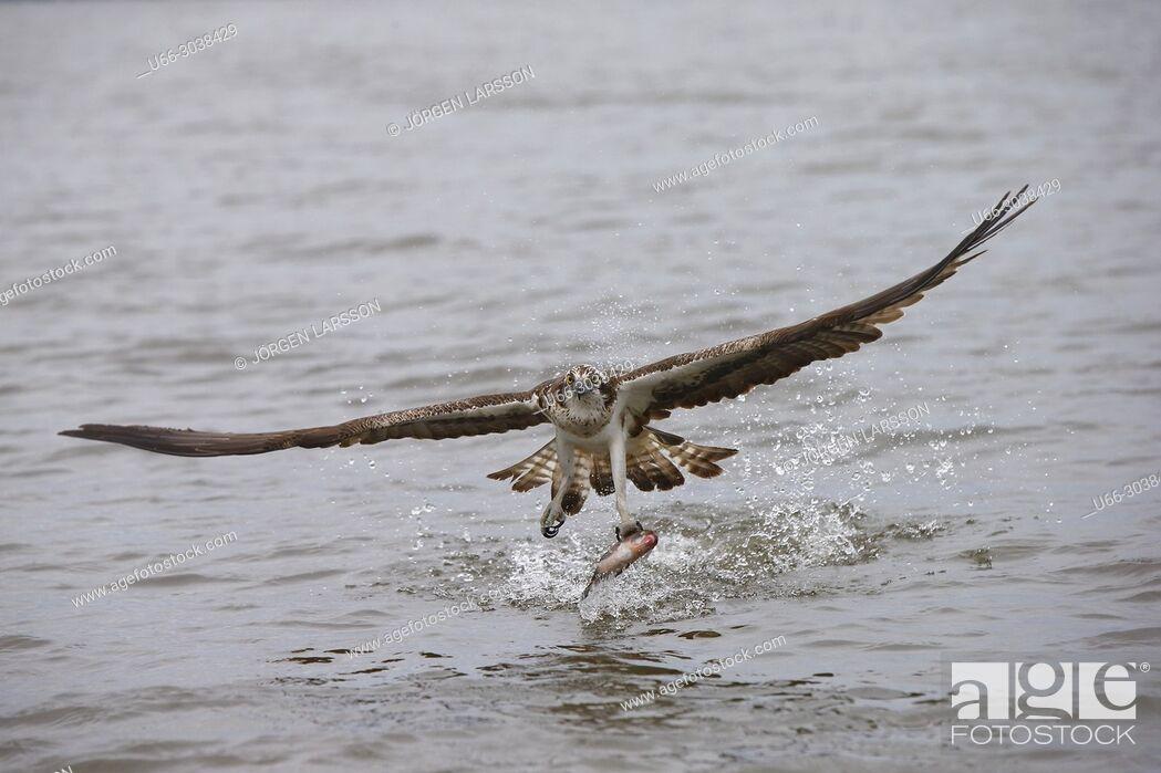 Stock Photo: Osprey fishing. Lake Malaren, Sodermanland, Sweden.