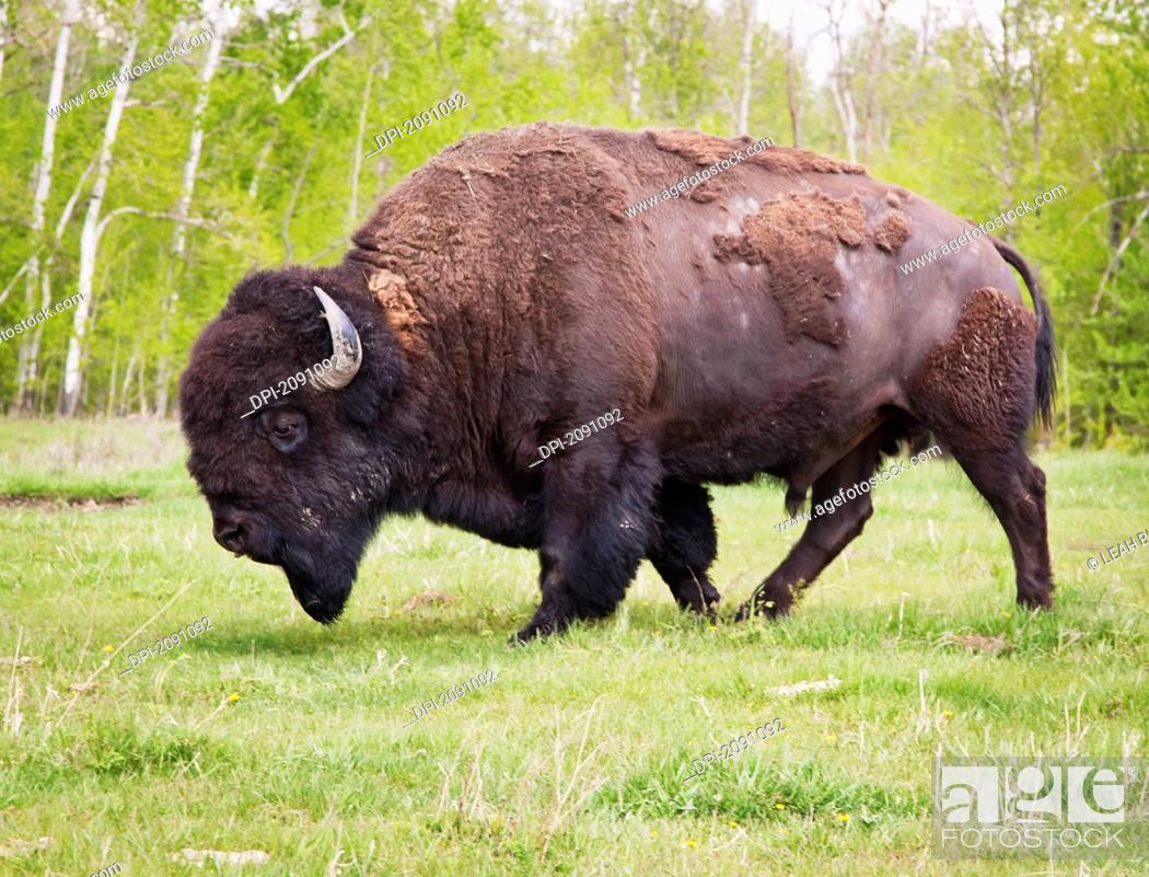 Stock Photo: Plains bison in elk island national park, alberta, canada.