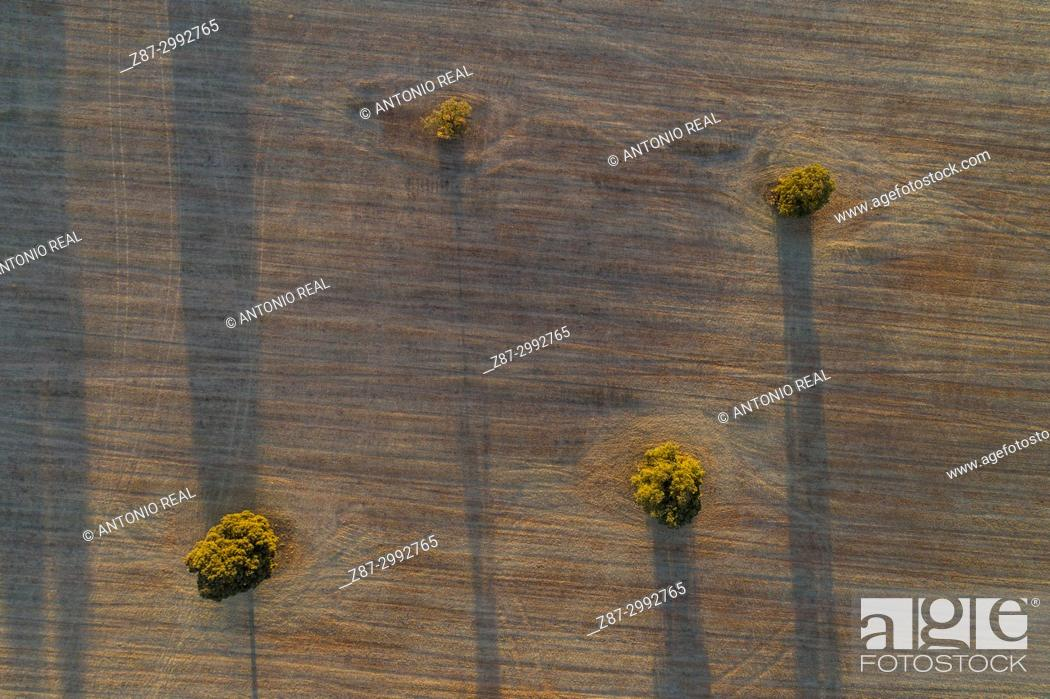 Stock Photo: Holm oaks in the fields of La Mancha. La Roda. Albacete Province. Spain.