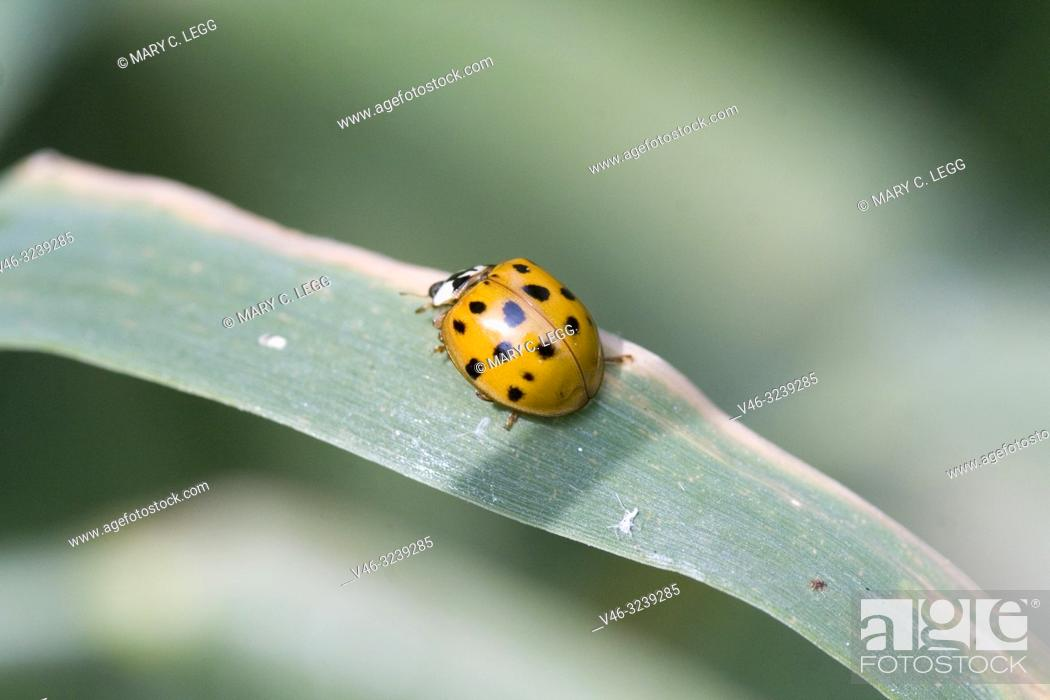 Stock Photo: Harlequin Ladybird, Harmonia axyridis, large ladybird which have multiple colora variations with dots 0-22. Most common form is red or orange with 14 dots and.