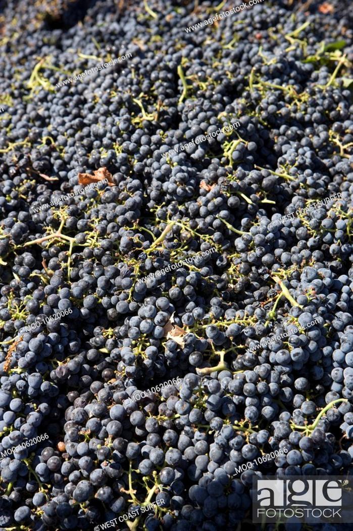 Stock Photo: Abundance of grapes.