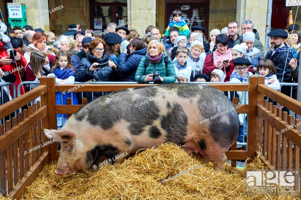 Stock Photo: Sow, Feria de Santo Tomás, The feast of St. Thomas takes place on December 21. During this day San Sebastián is transformed into a rural market.