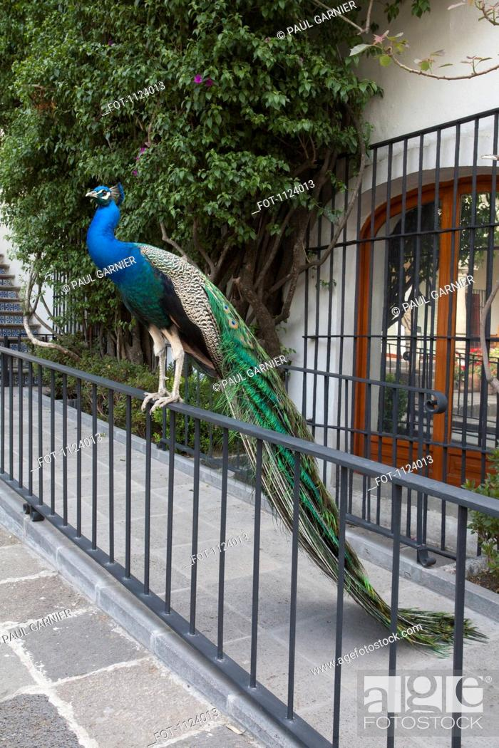 Stock Photo: A peacock perched on a railing.
