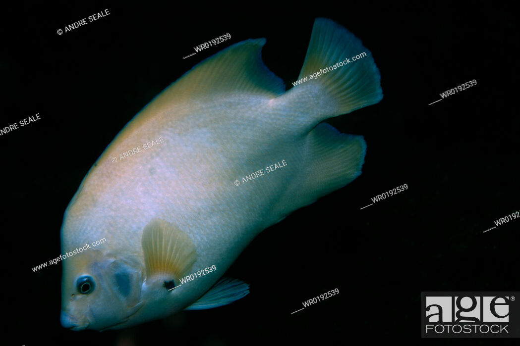 Imagen: Queen angelfish, Holacanthus ciliaris, endemic and rare white morphotype, St Peter and St Paul's rocks, Brazil, Atlantic Ocean rr.