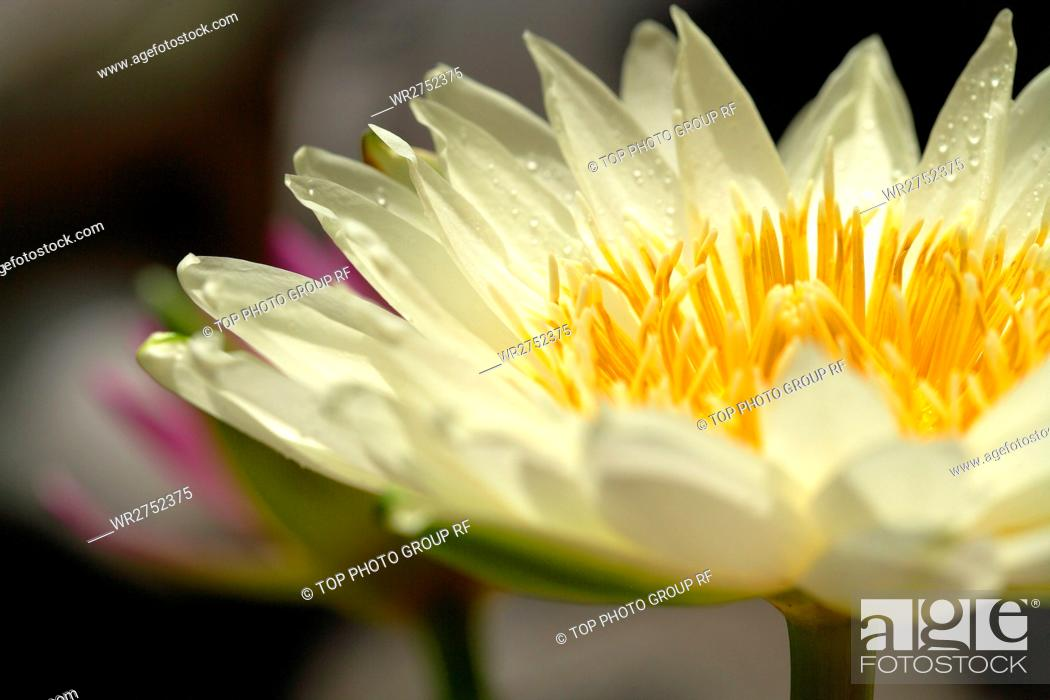 Stock Photo: Lotus.