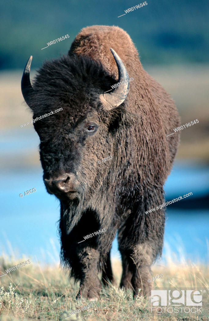 Stock Photo: American, Bison, Yellowstone, national, park, USA, Bison, bison.
