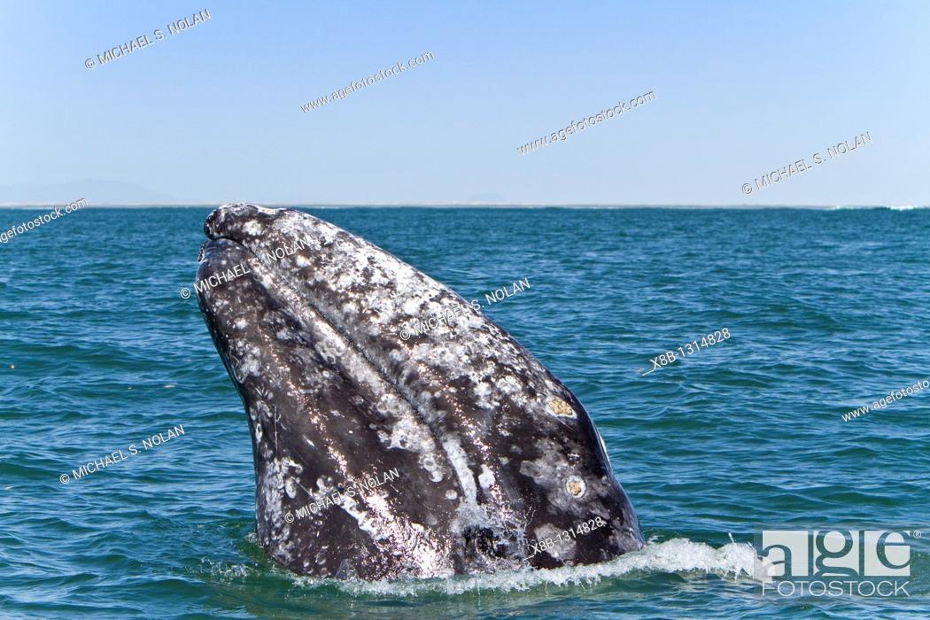 Stock Photo: Adult California gray whale Eschrichtius robustus spy-hopping in San Ignacio Lagoon on the Pacific side of the Baja Peninsula, Baja California Sur.