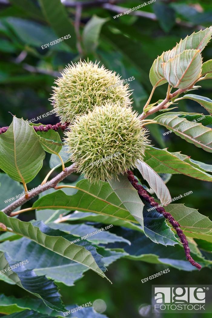 Imagen: American chestnut fruits (Castanea dentata).