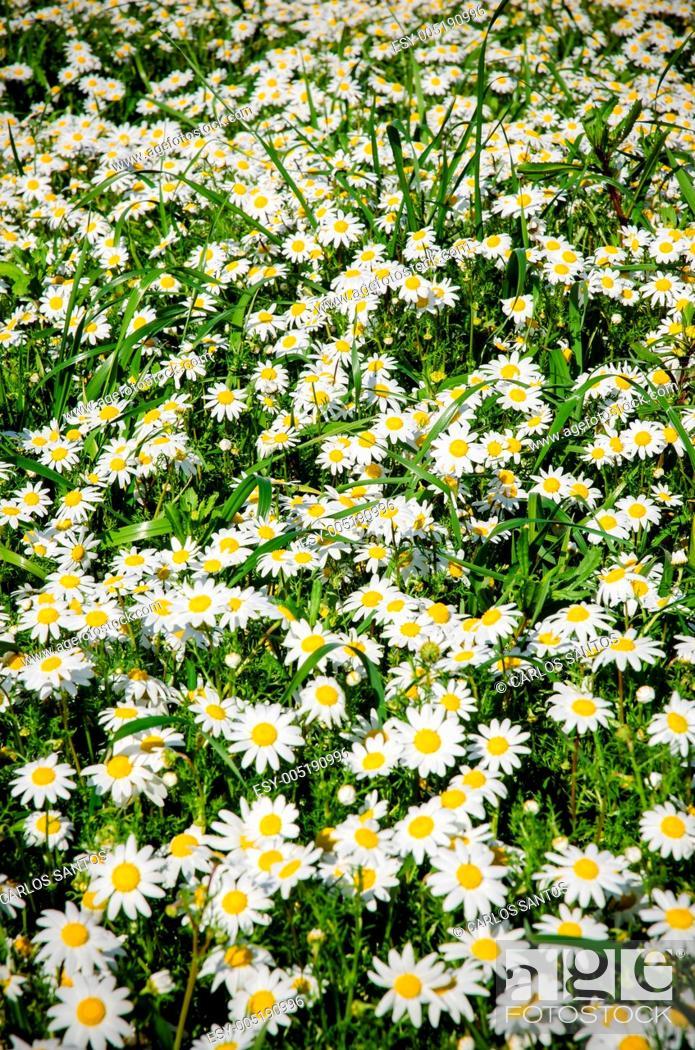Stock Photo: Field of daisies.