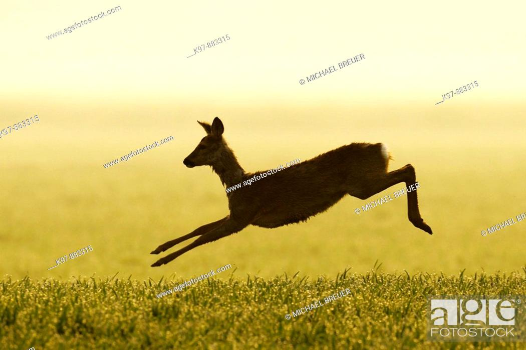 Stock Photo: Jumping Roe deer, Capreolus capreolus, Germany.