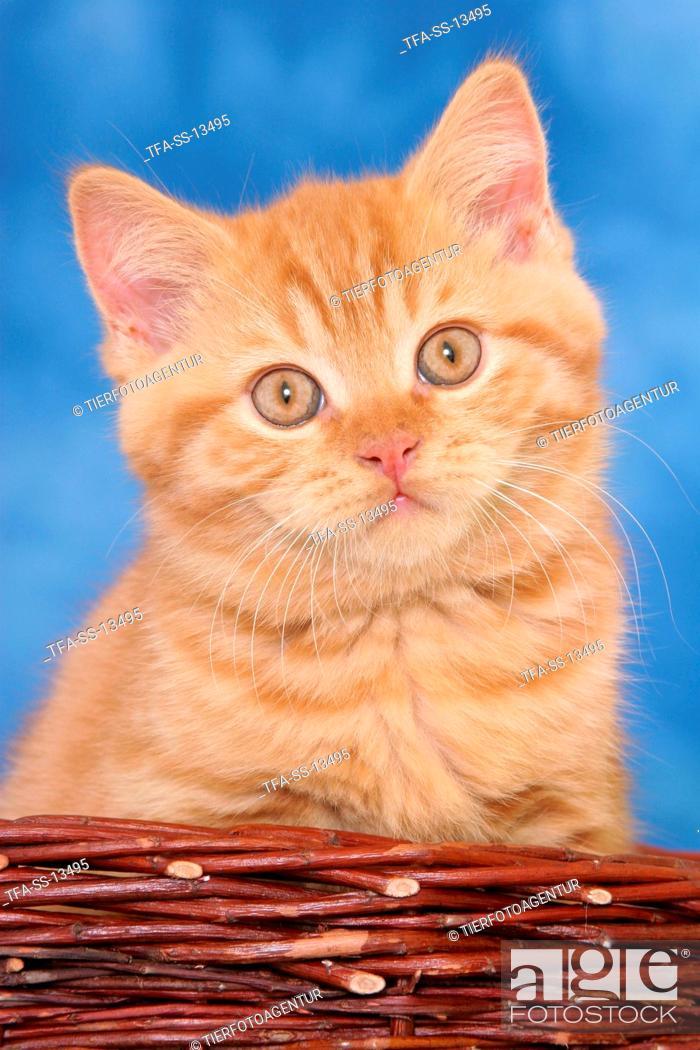 Stock Photo: red British Shorthair kitten in basket.