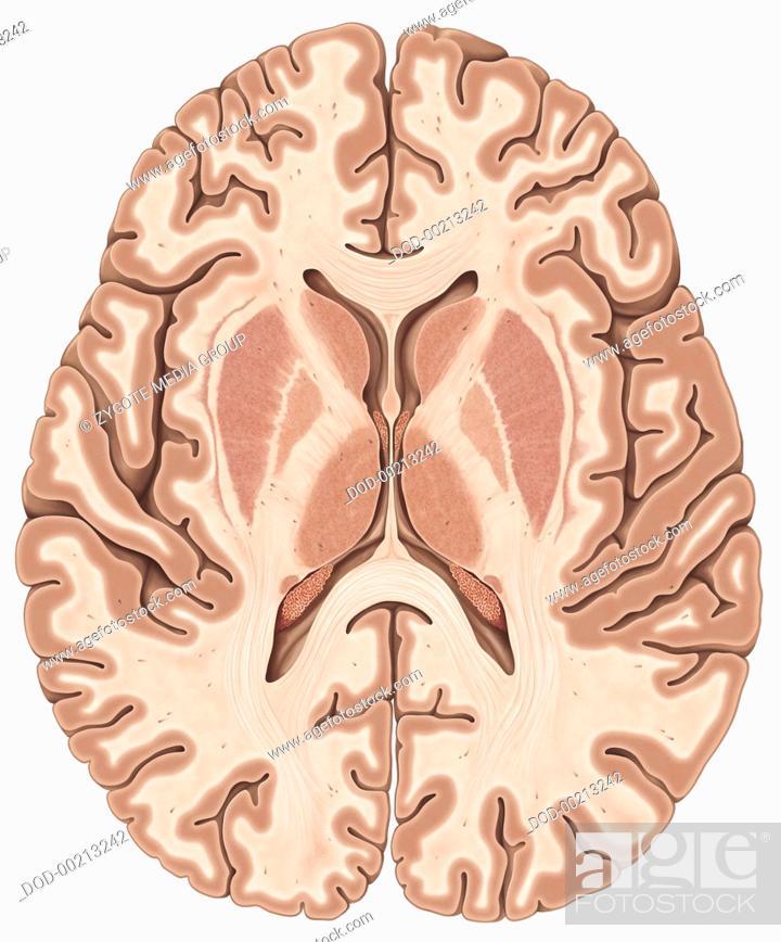 The Transverse Diagram Of Inside Brain - Wiring Diagram Database •