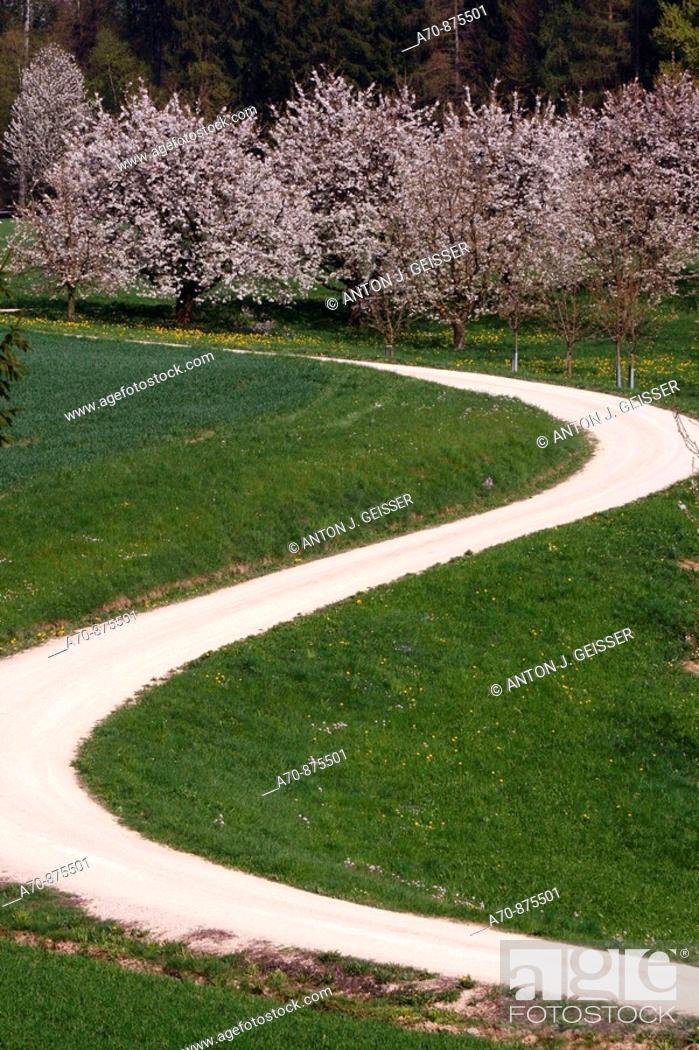 Stock Photo: Dirt road, flowering cherry trees.