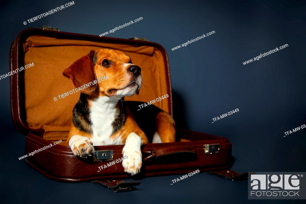 Stock Photo: Beagle lies in the suitcase.