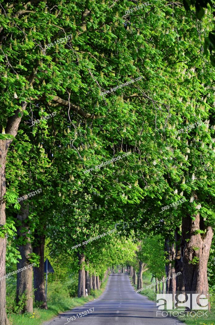 Stock Photo: beautiful chestnut alley in Mecklenburg-Western Pomerania.