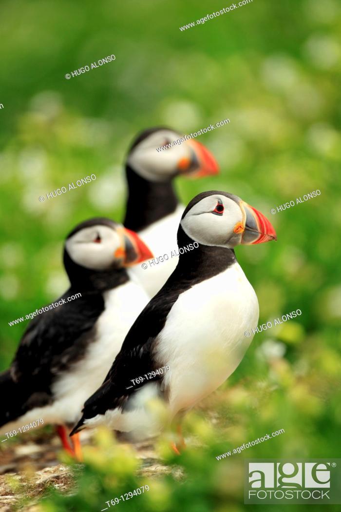 Stock Photo: Puffin (Fratercula arctica).
