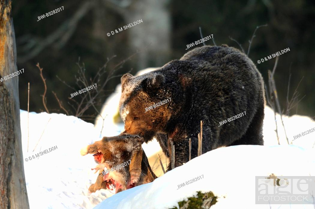 Stock Photo - European brown bear Ursus arctos arctos, in deep snow with a  caught roe deer in the mouth, Germany, Bavaria, Bavarian Forest National  Park