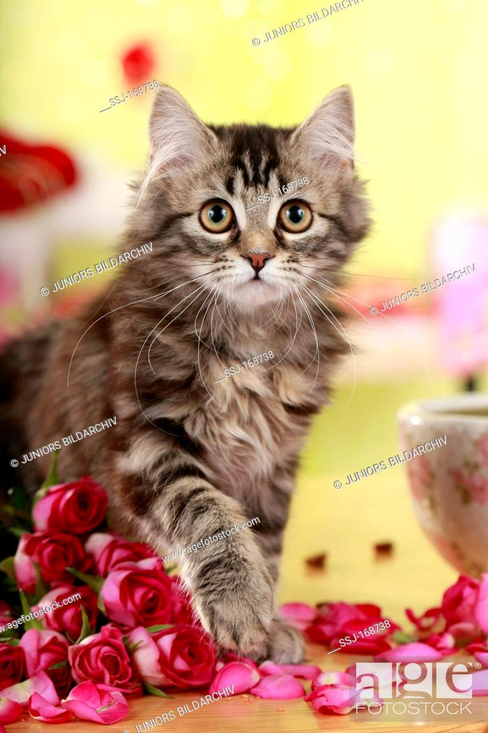 German Angora Cat Kitten With Rose Flowers Stock Photo Picture