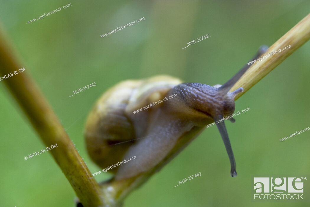 Stock Photo: A snail.