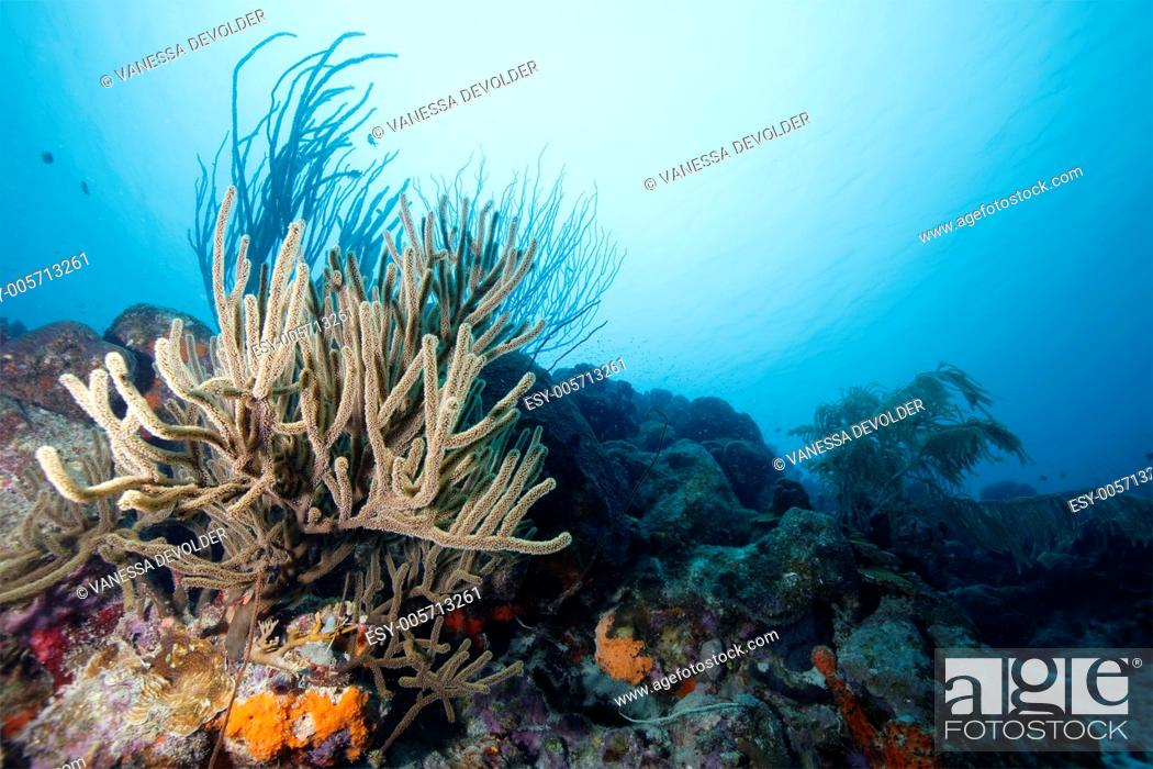 Stock Photo: Underwater landscape at Bonaire with sea rod and corals.