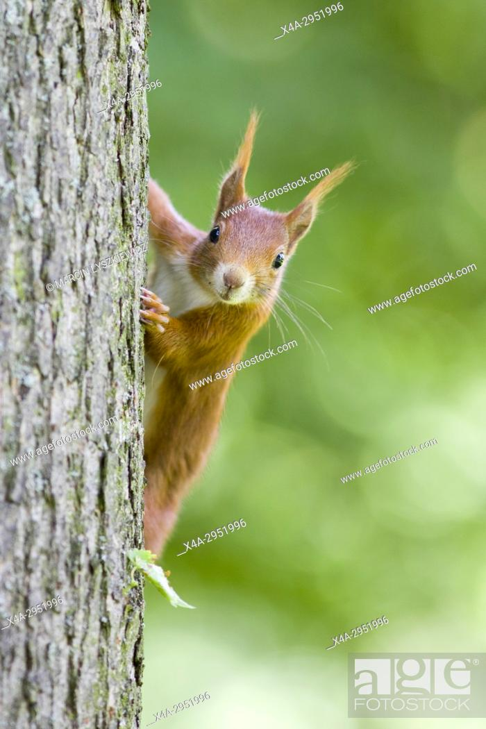 Stock Photo: Red Squirrel on a Tree, Germany.