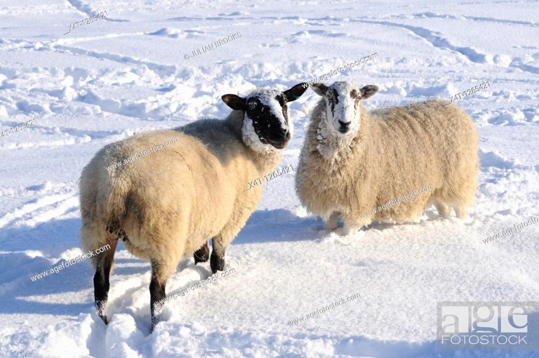 Stock Photo: sheep in the snow  Oxfordshire, UK.
