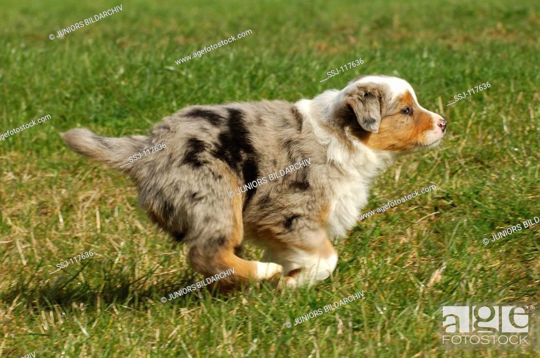 Stock Photo: Australian Shepherd - puppy running on meadow.