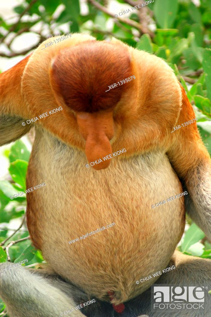 Stock Photo: Male Proboscis Monkey, Bako National Park, Borneo, Malasya.