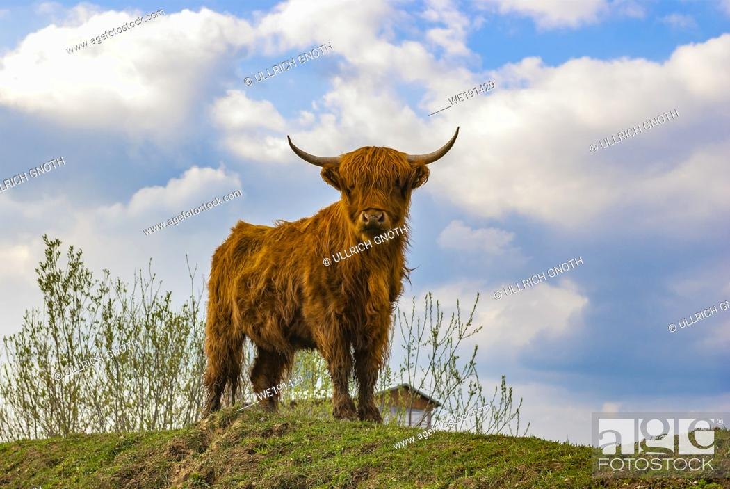 Stock Photo: Young highland cattle look curiously.