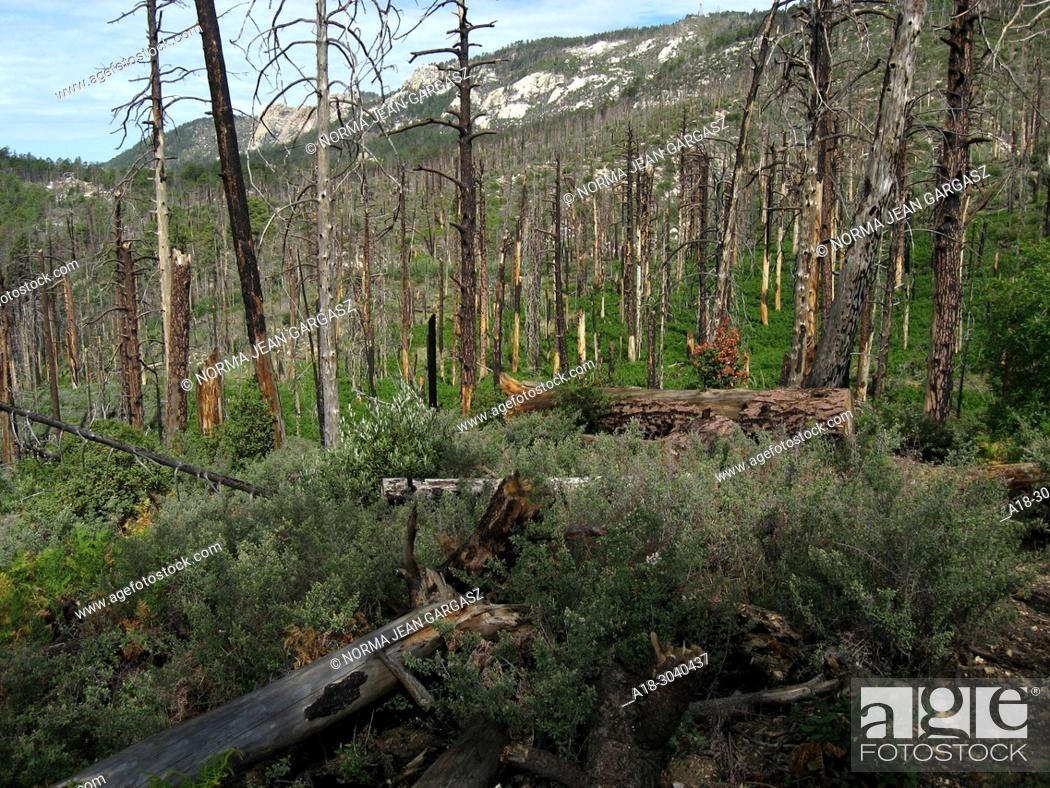 Stock Photo: New growth of pines, ferns and other plants emerges from the forest floor following the Aspen Fire, Mint Spring Trail, Sonoran Desert, Coronado National Forest.