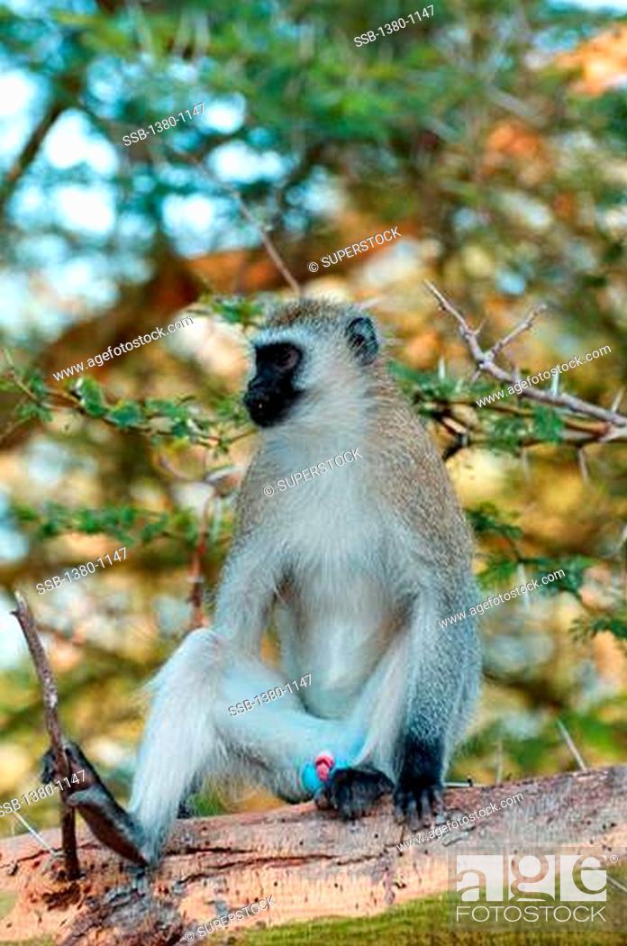 Stock Photo: Vervet monkey Cercopithecus aethiops on a tree, Lake Manyara National Park, Tanzania.