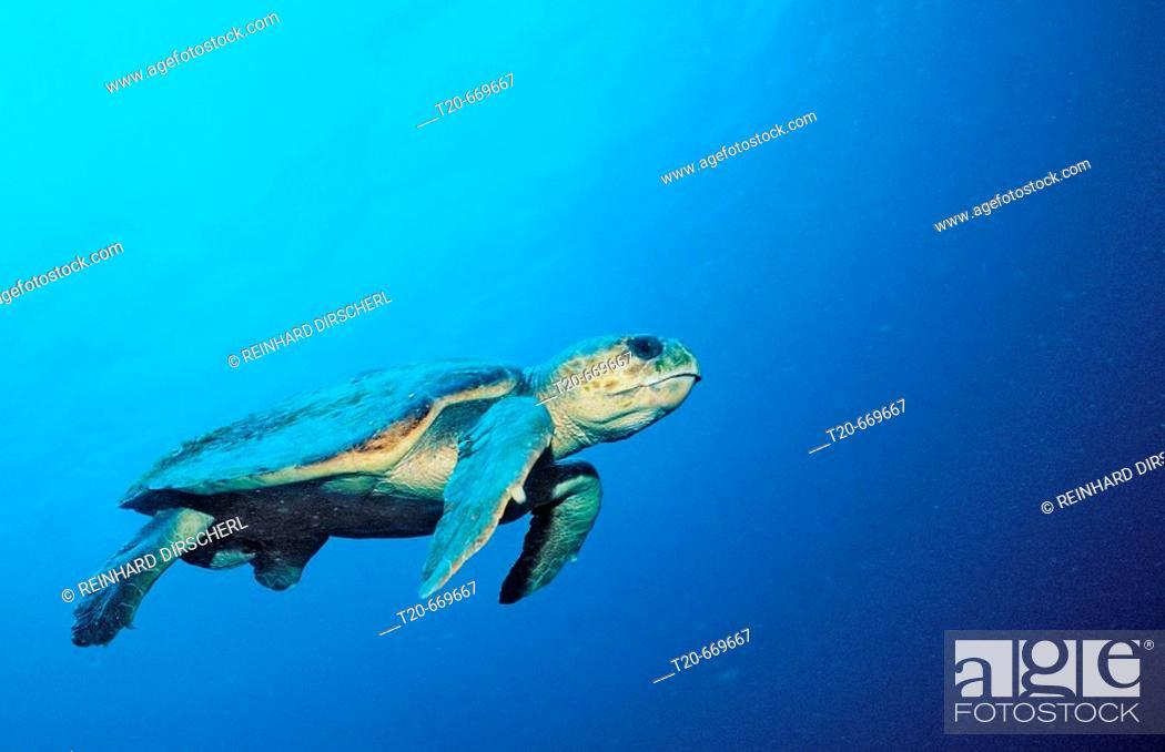 Stock Photo: Loggerhead turtle, Caretta caretta, Netherlands Antilles, Bonaire, Caribbean Sea.
