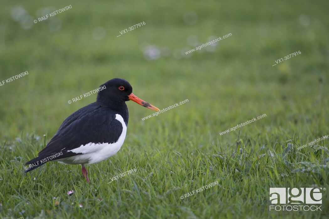 Stock Photo: Oystercatcher ( Haematopus ostralegus ) stands on extensive meadows searching for food, wildlife, Europe. .