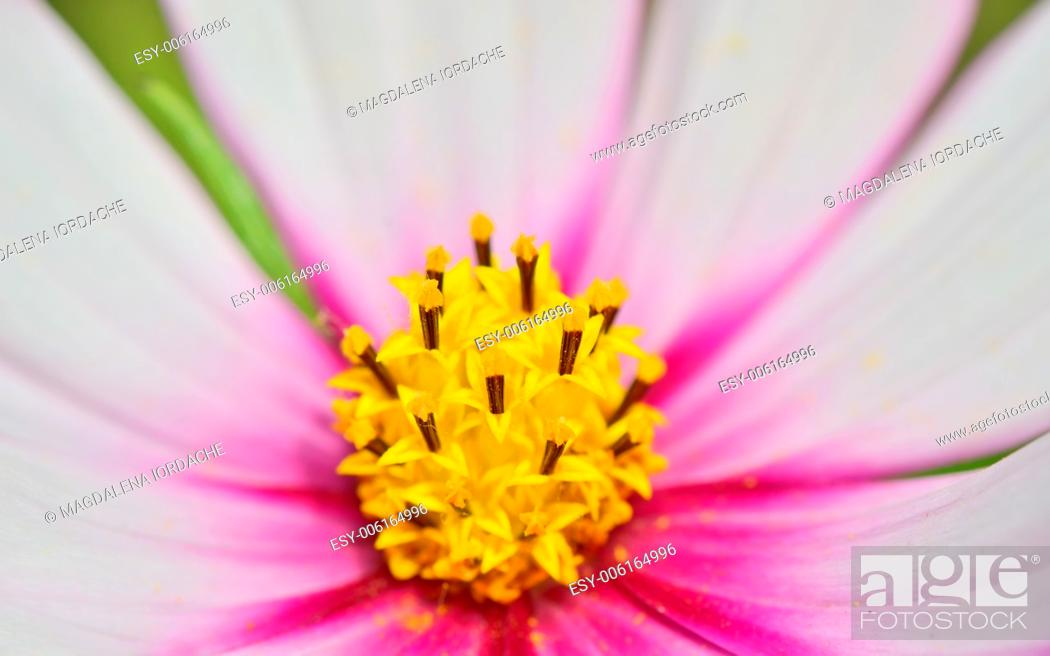 Stock Photo: macro yellow pistil of purple cosmos flowers.