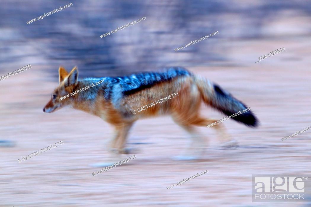 Stock Photo: Black-backed Jackal Canis mesomelas, Kgalagadi Transfrontier Park, Kalahari desert, South Africa.