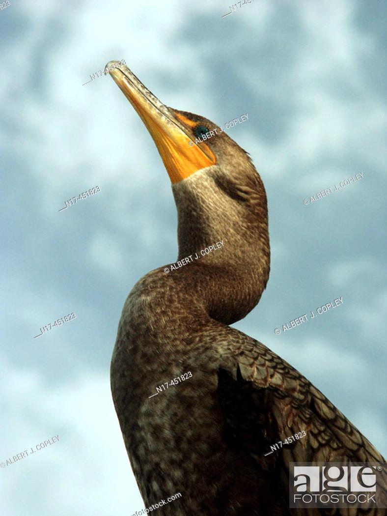 Stock Photo: Florida Everglades, anhinga.