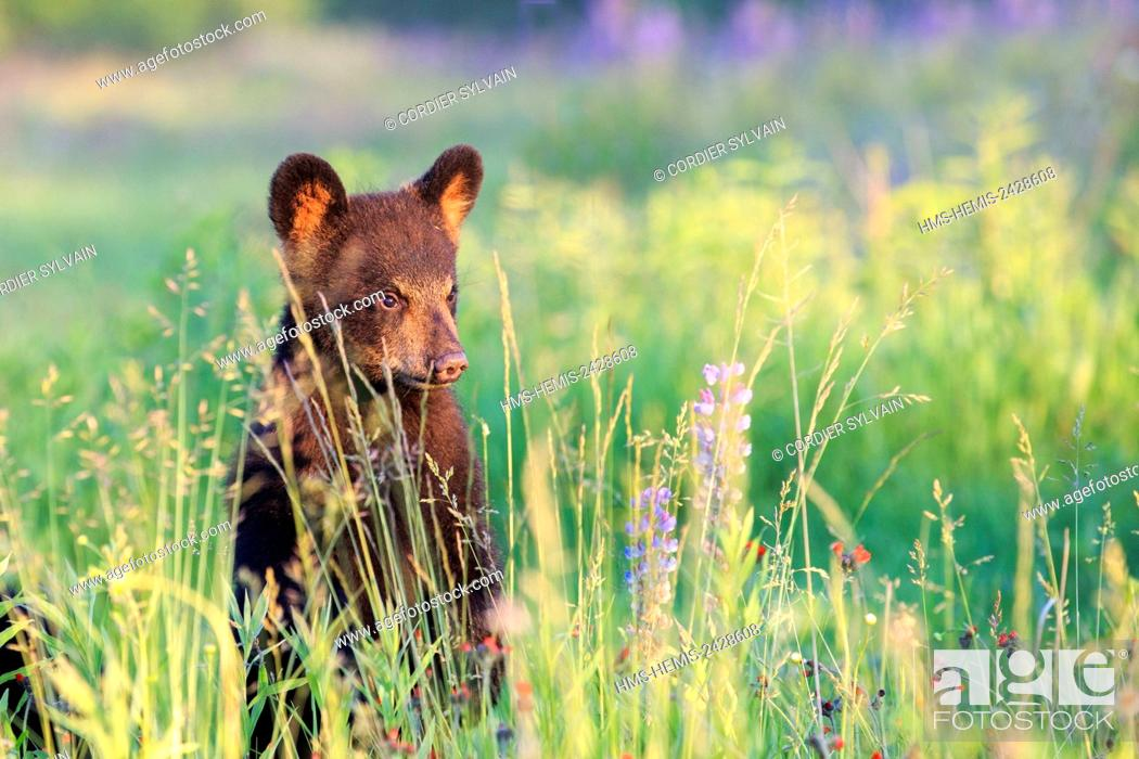 Stock Photo: United States, Minnesota, Baby black bear (Ursus americanus), in a meadow with wild lupins.