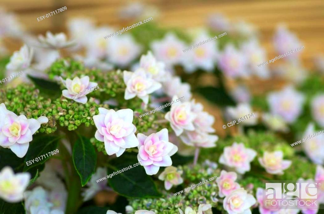 Stock Photo: white and pink hydrangea.