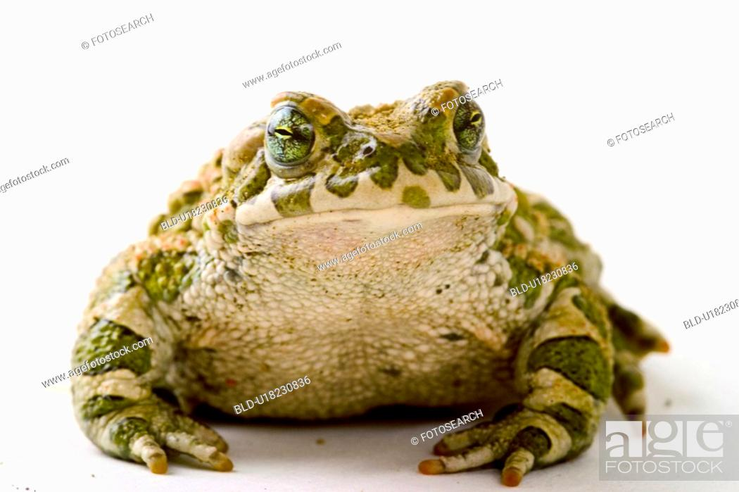 Stock Photo: animals, front, frog, bufonidae, alfred.