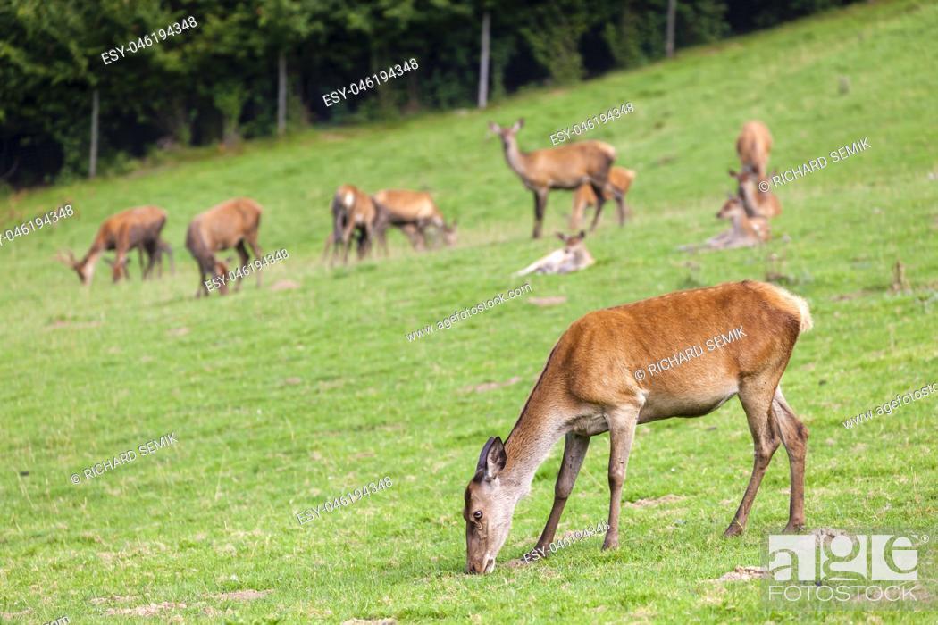 Stock Photo: forest animal, Styria, Austria.