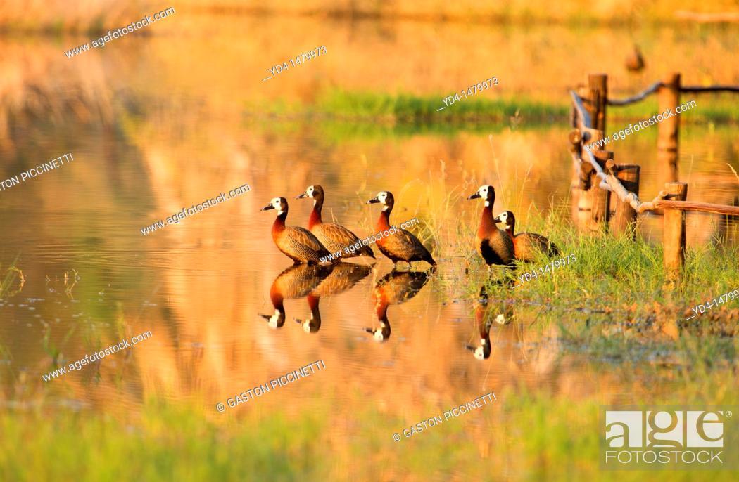 Stock Photo: White-faced Duck Dendrosygna viduata, Okavango Delta, Botswana.