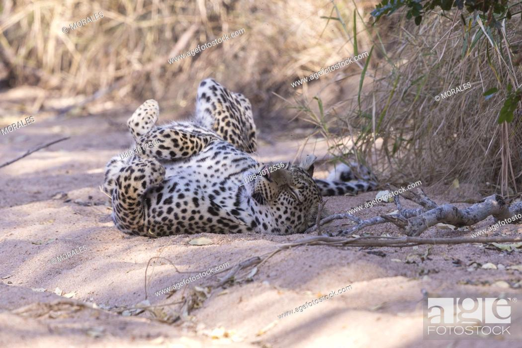 Stock Photo: Africa, Southern Africa, South African Republic, Mala Mala game reserve, savannah, African Leopard (Panthera pardus pardus), resting on the ground.