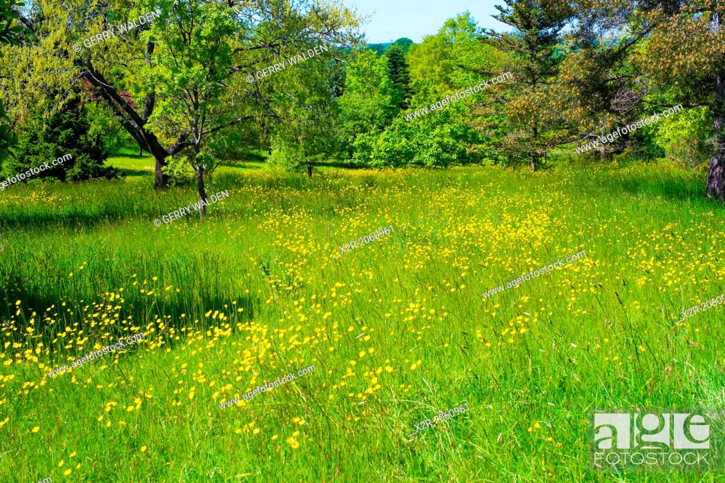 Stock Photo: Field of grass with buttercups - Hampshire, England.