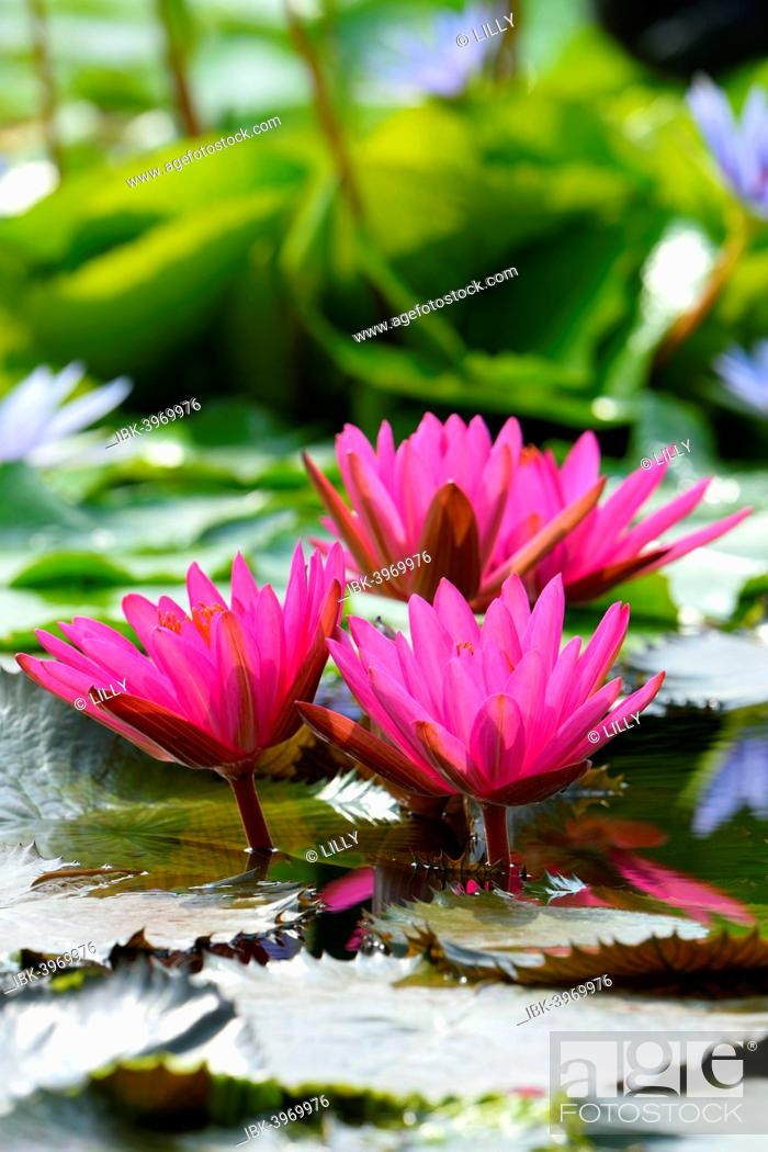 Stock Photo: Water Lilies (Nymphaea), Baden-Württemberg, Germany.