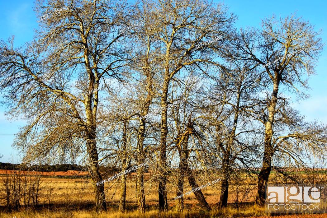 Stock Photo: Silver Poplar (Populus alba), Almansa, Albacete province, Castilla-La Mancha, Spain.
