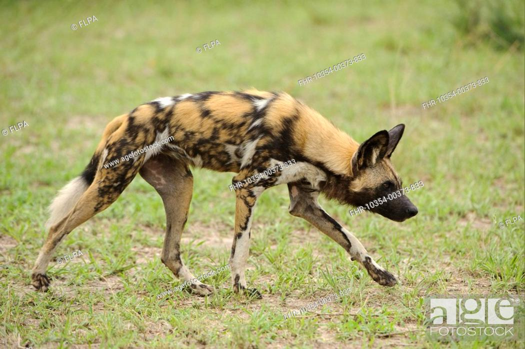Stock Photo: African Wild Dog Lycaon pictus adult, walking, Kwando Lagoon, Linyanti, Botswana.