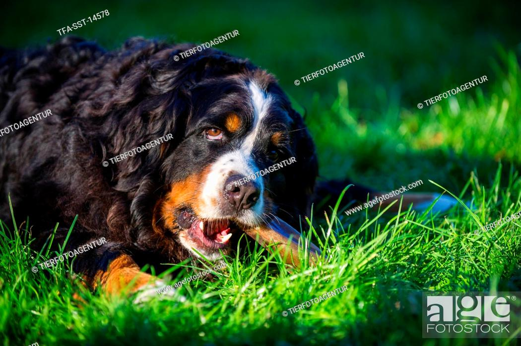 Eating Bernese Mountain Dog Stock Photo Picture And Rights