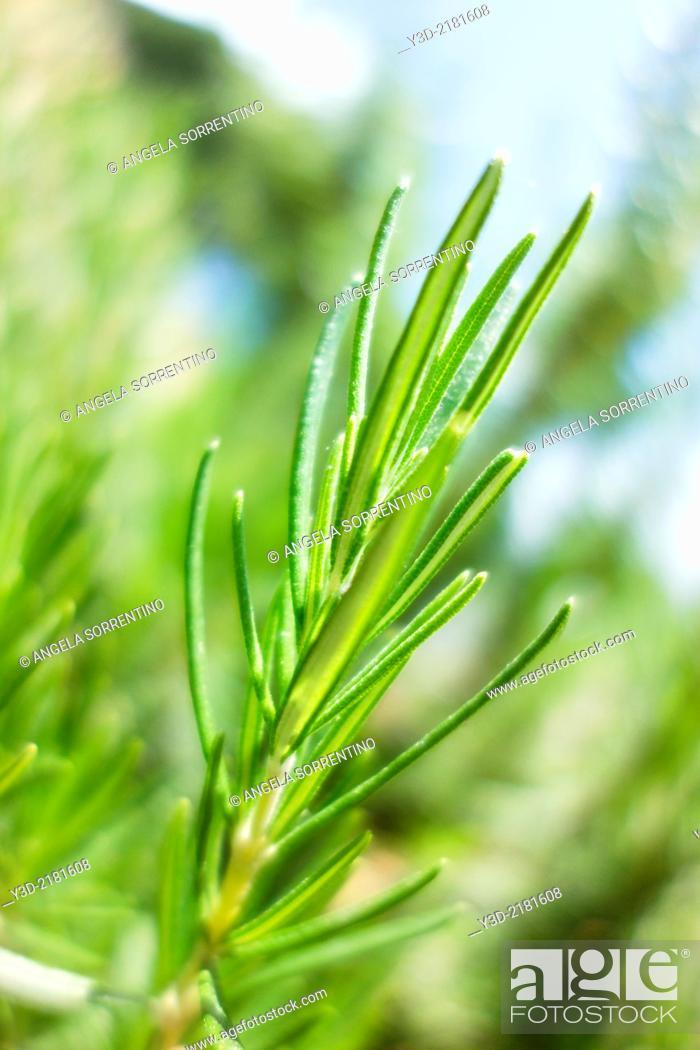 Imagen: Rosemary leaves.