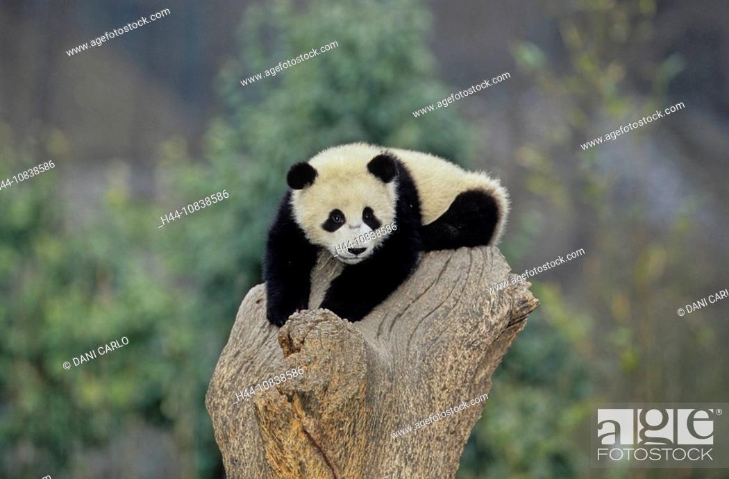 Stock Photo: Giant Panda, Ailuropoda Melanoleuca, Giant Panda Research Center, Wolong, Sichuan, China, Asia, Sichuan Giant Panda Sa.